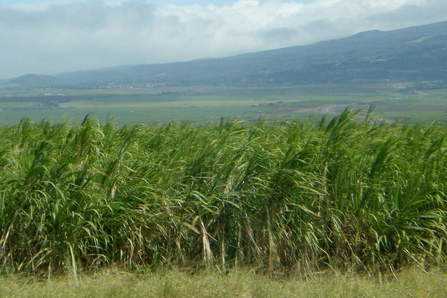 Seeking a Global Solution in Sugar Trade Policy
